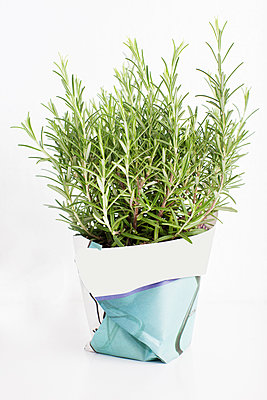 Rosemary plant in flowerpot - p312m1551961 by Johner Images