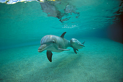 Bottlenose Dolphin underwater mother and young - p8840283 by Flip  Nicklin