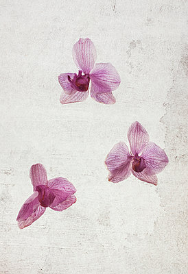 Three orchid flowers - p971m1054855 by Reilika Landen