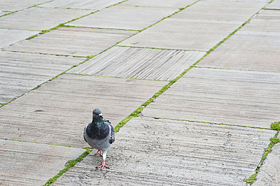 A pigeon walking across paving - p1047m1090529 by Sally Mundy