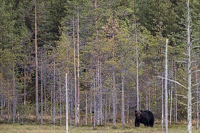 Schwarzbär (Ursus americanus) - p1241m2100362 by Topi Ylä-Mononen