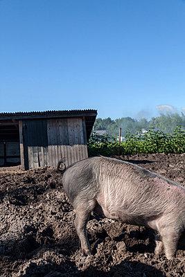 Angler-Sattelschwein - p739m816997 von Baertels