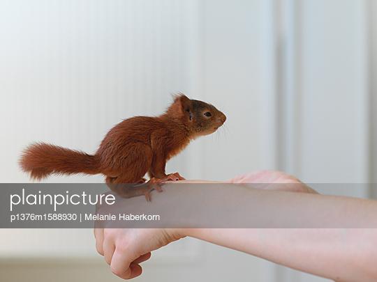 Eichhörnchen auf der Hand - p1376m1588930 von Melanie Haberkorn