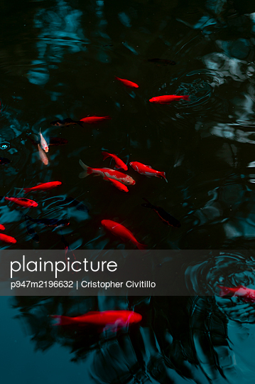 Shoal of goldfish in the pond - p947m2196632 by Cristopher Civitillo