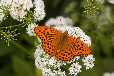 Silver-washed fritillary butterfly - p1251m1528719 by Heikki Tabell