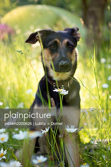 Thoughtful dog - p454m2200626 by Lubitz + Dorner
