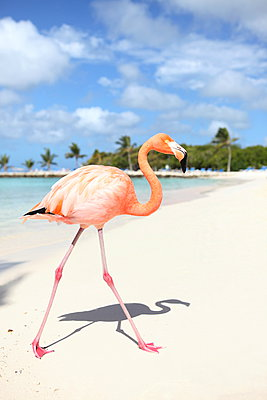 Flamingo at Aruba - p045m912534 by Jasmin Sander