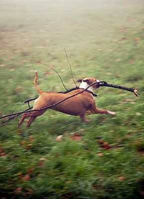 Dog Running with Branch  - p1248m1115389 by miguel sobreira