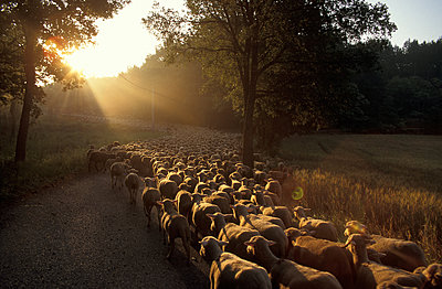 Flock of sheep - p1468m1527636 by Philippe Leroux