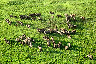 Democratic Republic Of Congo, Aerial view of herd of elephants inGaramba National Park - p300m2198029 by David Santiago Garcia