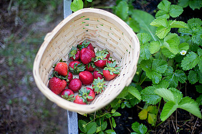 Close up of basket of strawberries in garden - p555m1409494 by Shestock