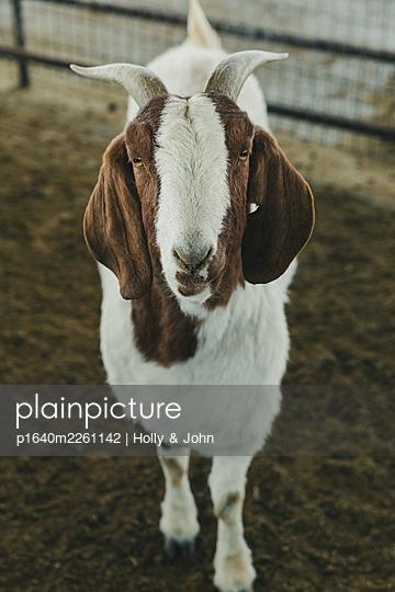 Porträt einer zweifarbigen Ziege - p1640m2261142 von Holly & John