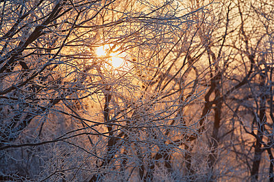 Low angle view of sunlight filtering through snow-covered tree branches in winter. - p1100m1520087 by Mint Images