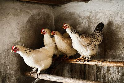 White hens in chicken coop on roosting bar - p1166m2106050 by Cavan Images