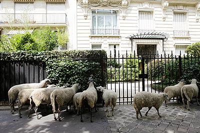sheeps walking in Paris streets - p1610m2181525 by myriam tirler