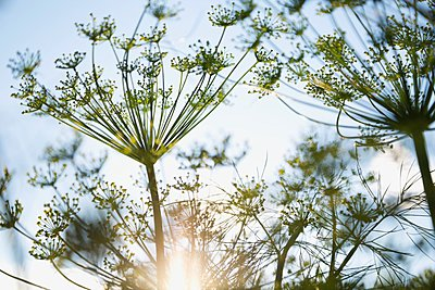 Fennel flowers against sky - p328m906622f by Hero Images