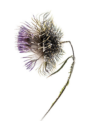 Dried thistle blossom - p401m2172877 by Frank Baquet