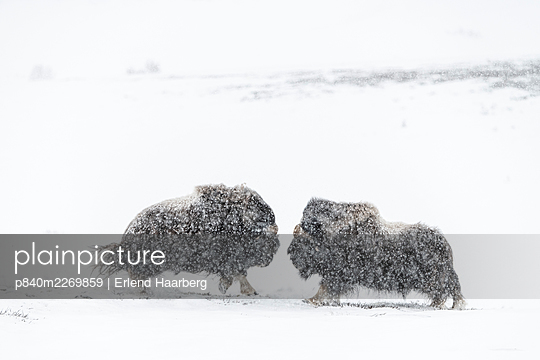 Muskox (Ovibus moschatus), males fighting, Dovrefjell-Sunndalsfjella National Park, Norway, February. - p840m2269859 by Erlend Haarberg