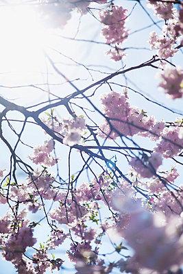 Cherry tree - p1006m709523 by Danel