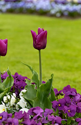 Purple tulip - p1048m1069119 by Mark Wagner
