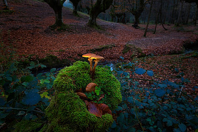 Spain, Basque Country, Gorbea Natural Park, mushrooms growing in beech forest - p300m1204932 by David Santiago Garcia
