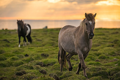 Icelandic horses walking along the ocean at sunset; Hofsos, Iceland - p442m2004293 by Robert Postma