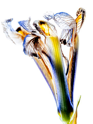 Withered Iris - p401m2291099 by Frank Baquet
