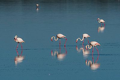Greater flamingos (Phoenicopterus roseus) feeding in lake, Ndutu, Ngorongoro Conservation Area, Serengeti, Tanzania - p924m2164664 by Delta Images