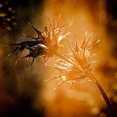 Sommerdornen - p1578m2161113 von Marcus Hammerschmitt