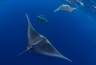Spinetail devil rays (Mobula mobular) engaged in sexual courtship in Honda Bay, Palawan, The Philippines, Southeast Asia - p871m2122887 by Duncan Murrell