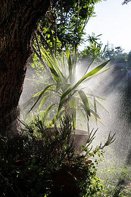 Watering a Yucca Tree - p1307m2122278 by Agnès Deschamps