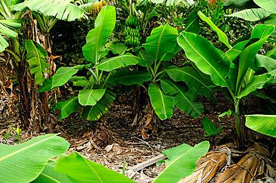 Bananas by Cape Verde - p1870582 by Katarzyna Zommer