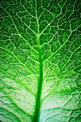 Savoy cabbage - p803m2270237 by Thomas Balzer