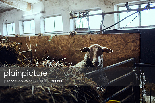 Sheep in a stable - p1573m2272522 by Christian Bendel