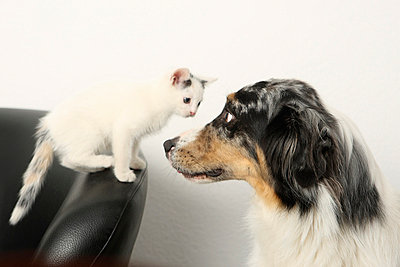 Australian Shepherd and cat - p4030838 by Helge Sauber