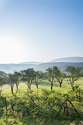 Olive trees and vine in Southern France - p954m1585909 by Heidi Mayer