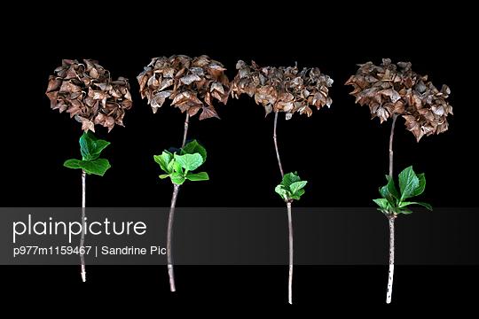 Hortensien auf schwarzem Hintergrund - p977m1159467 von Sandrine Pic