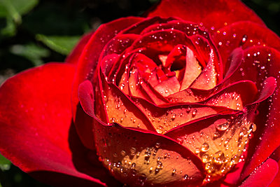 Gentle red rose with drops of dew on floral background - p1166m2072121 by Cavan Images