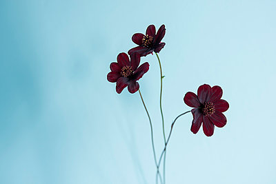 Cosmos Flower - p427m956346 by Ralf Mohr