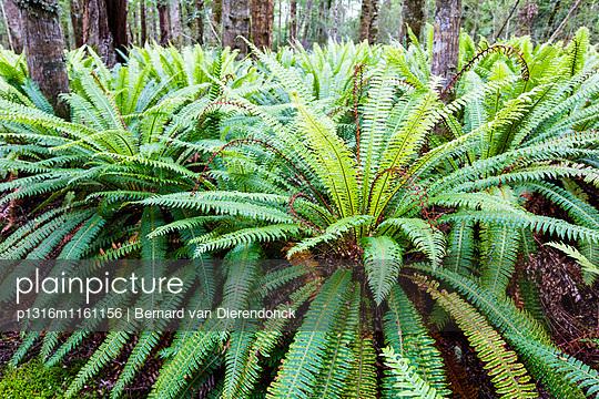 Farne im Regenwald von Fjordland beim Lake Manapouri, Hope Arm, South Island, Neuseeland - p1316m1161156 von Bernard van Dierendonck