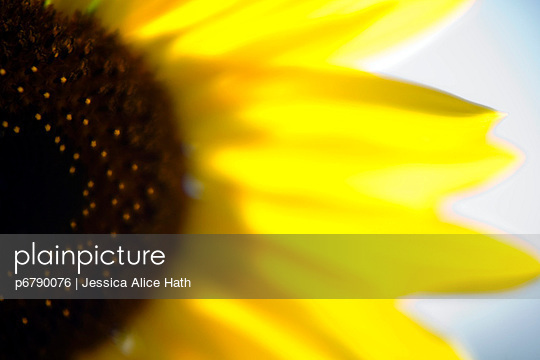 Sunflower - p6790076 by Jessica Alice Hath