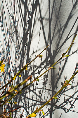 Forsythia branches - p927m1355328 by Florence Delahaye