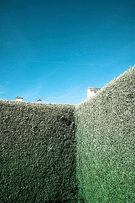 Leyland-Zypresse - p1433m1531928 von Wolf Kettler