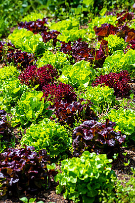Germany, Green and purple lettuce growing in vegetable garden - p300m2189452 by Nabiha Dahhan