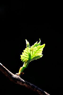 Weinrebe - p8760230 von ganguin