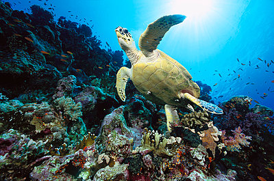 Green Sea Turtle swimming over coral reef - p884m864768 by Chris Newbert