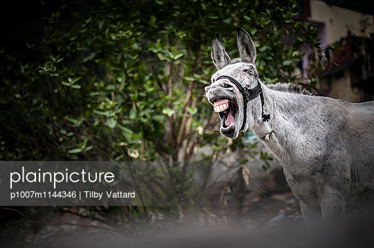 Laughing donkey - p1007m1144346 by Tilby Vattard