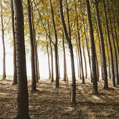 Cottonwood trees planted in ordered rows, casting long shadows on the ground. Commercial arboriculture, a tree nursery or farm. - p1100m876863f by Paul Edmondson