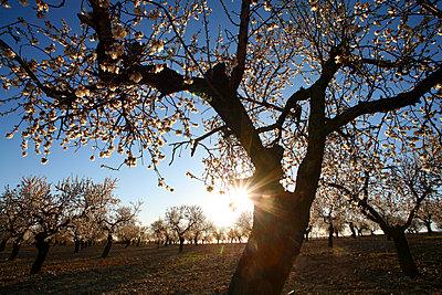 Almond blossom, springtime, La Rioja - p343m1134388f by David Santiago Garcia