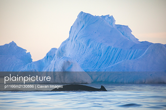 Humpback whales amongst ice - p1166m2130886 by Cavan Images